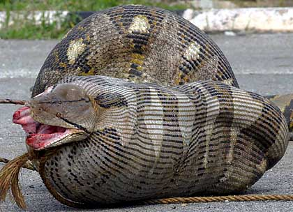 Can A Rock Python Kill A Crocodile